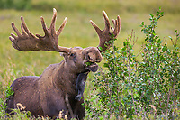 Bull moose in velvet antlers feeds on alder leaves on the tundra of Denali National Park, Alaska.
