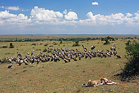 Cheetah feeding on Gazelle kill surrounded by a large flock of waiting vultures (Acinonyx jubatus), Maasai Mara National Reserve, Kenya.