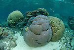 Porites coral heads in shallow reef, Porites sp.