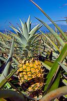 Pineapple fruit, Kapalua, Maui