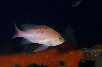 Mediterranean fairy basslet (Anthias anthias) on artificial reef, Larvotto Marine Reserve, Monaco, Mediterranean Sea<br /> Mission: Larvotto marine Reserve