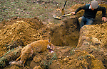 FOX HUNTING TERRIER MAN STANDING IN HOLE NEXT TO FOX WHICH HAS BEEN SHOT DEAD AFTER BEING TRAPPED BY DOG & THEN DUG OUT,