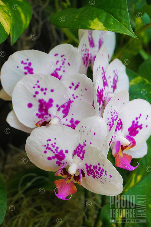 A close-up of white orchids splashed with lavender, Hawai'i.