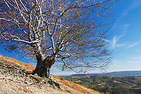 Single old Common beech tree (Fagus sylvatica) growing on a slope in Geoparcul Platoul Mehedinți, Romania.