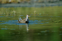 577410015 a wild spotted sandpiper actitis macularia bathes in a small pond in the rio grande valley of south texas