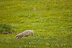 A single coyote pounces on his prey in a grassy field filled with small yellow flowers.