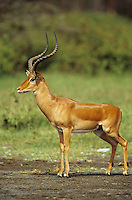 Adult male Impala (Aepyceros melampus), Lake Nakuru, Kenya.