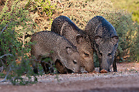 Javelinas feeding