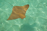Common Eagle Ray (Myliobatis aquila) Oceanarium, San Martin de Pajarales island, Rosario islands, Cartagena de Indias, Colombia, South America.