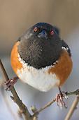 Spotted Towhee (Pipilo maculatus), Victoria, British Columbia, Canada.