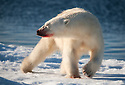 NOT HAPPY - Polar bear (Ursus maritimus) in Svalbard