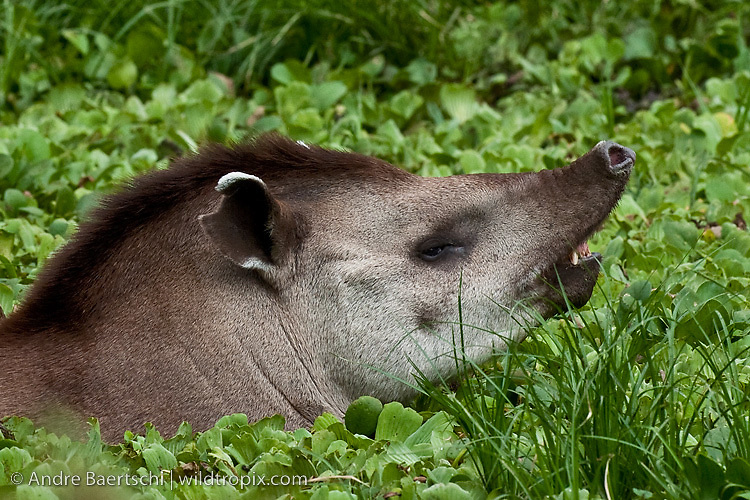 Brazilian Tapir (Tapirus terrestris) in a pond covered with water cabbage (Pistia stratiotes), tropical dry forest during dry season, Kaa-Iya del Gran Chaco National Park, Santa Cruz, Bolivia.