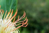 Hedychium Ellipticum