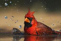 Northern Cardinal (Cardinalis cardinalis),male bathing, Rio Grande Valley, Texas, USA