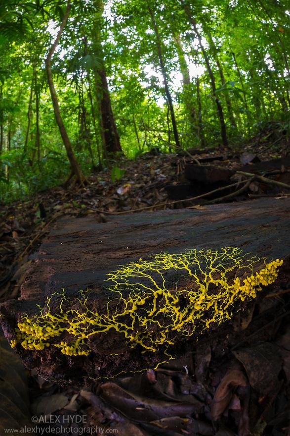 Slime Mould {Physarum sp.} plasmodium growing across rotting wood. Osa Peninsula, Costa Rica. May.