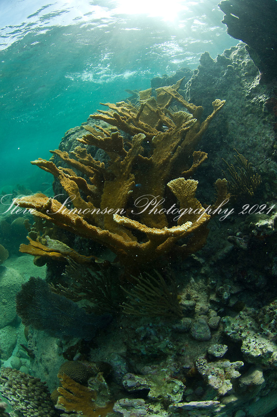 Elkhorn Coral (Acropora palmata)<br /> Hawksnest Bay<br /> Virgin Islands National Park<br /> St. John<br /> U.S. Virgin Islands