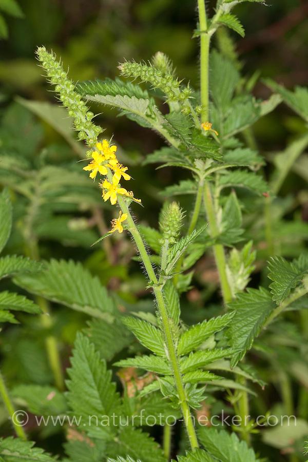 Kleiner Odermennig, Agrimonia eupatoria, Agrimony, Cocklebur