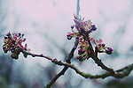 Some new pink blossom emerging from tree branches.