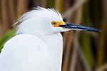 Egret Profile 1, Upper Newport Bay, CA