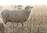 Sheep lined up in foggy field