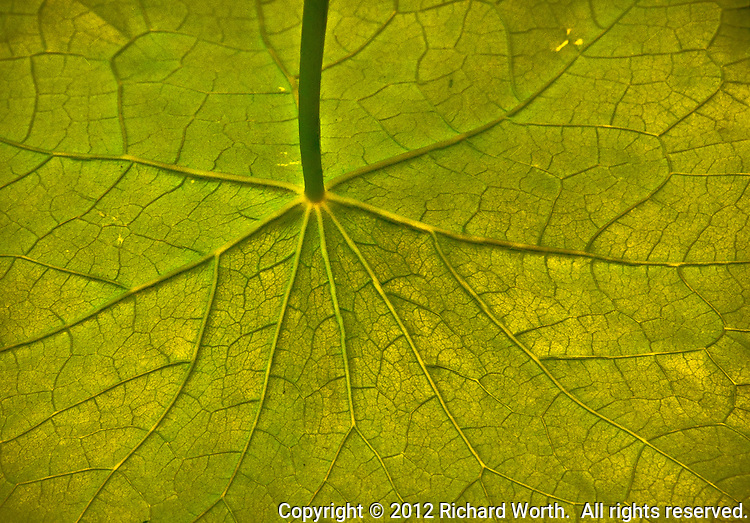 The myriad connections and interconnections of veins on a nasturtium leaf.