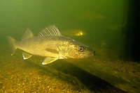 Walleye<br /> <br /> ENGBRETSON UNDERWATER PHOTO