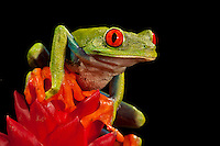 Red Eye Tree Frog (Agalychnis callidryas). Captive