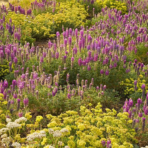Lupine Garden I