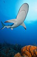 RQ0499-D. Caribbean Reef Shark (Carcharhinus perezi) swimming over Orange Elephant Ear Sponge (Agelas clathrodes). Florida, USA, Atlantic Ocean.<br /> Photo Copyright &copy; Brandon Cole. All rights reserved worldwide.  www.brandoncole.com