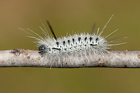 Hickory Tussock Moth (Lophocampa caryae) caterpillar, High Point State Park, Sussex County, New Jersey.