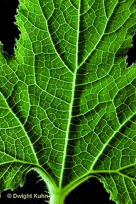 HS24-096c  Pumpkin - leaf