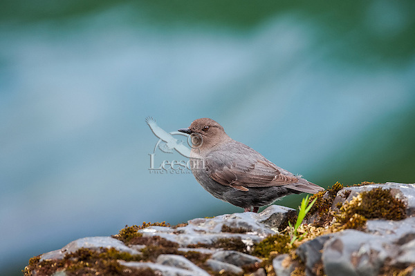 American dipper (Cinclus mexicanus) or water ouzel standing on rock along fast, flowing mountain stream.  Pacific NW.  June.