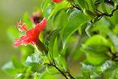 Koki'o Ula (red hibiscus)