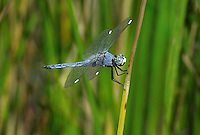389220013 a wild male comanche skimmer libellula comanche perches on a reed near a lake in yuma county arizona