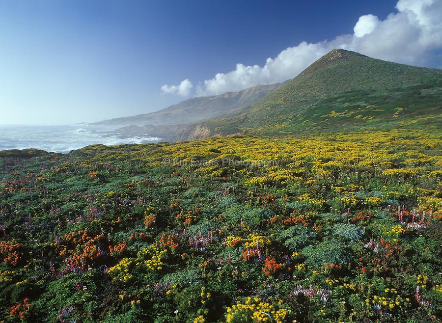 Wildflowers in bloom along the Big Sur Coast, California.