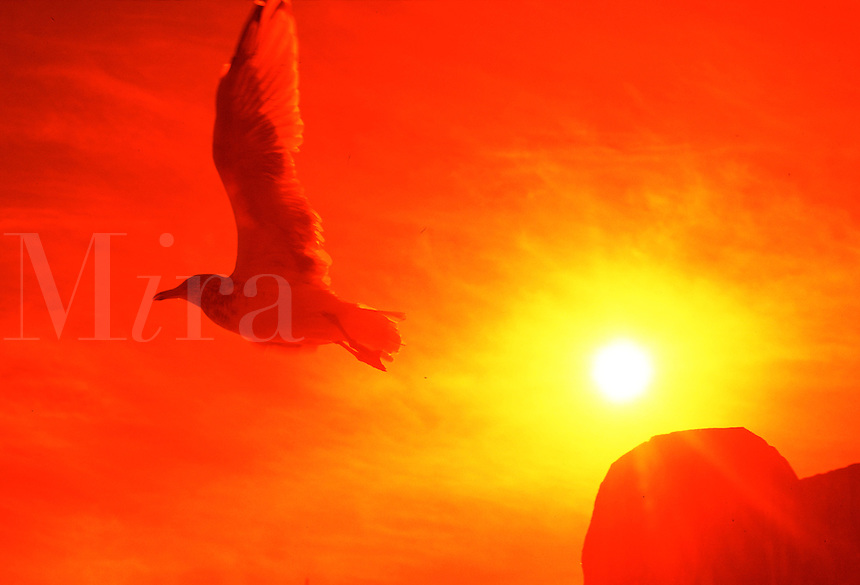 Silhouette of a sea gull in flight
