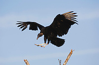 Black Vulture (Coragyps atratus), adult landing on bush, Sinton, Corpus Christi, Coastal Bend, Texas, USA