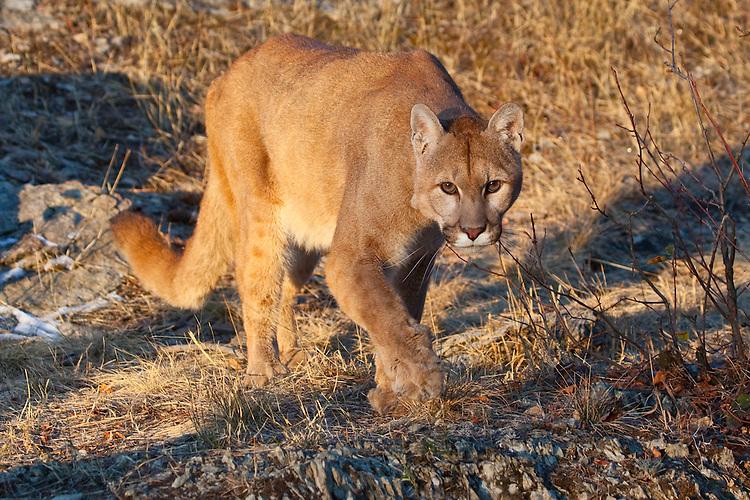 Mountain Lion stalking across some rocky ground - CA