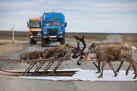 Bovanenkovo ,Yamal Peninsula, Russia, 09/07/2010..Gazprom vehicles wait while Nenets sledges and reindeer use insulation material to cross a new Gazprom built road while heading north to the Russian Arctic coast. The Nenets had previously been unable to follow their traditional migration routes because new roads constructed by Gazprom damage the sledges.