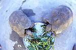 Leopard Tortoises Eating