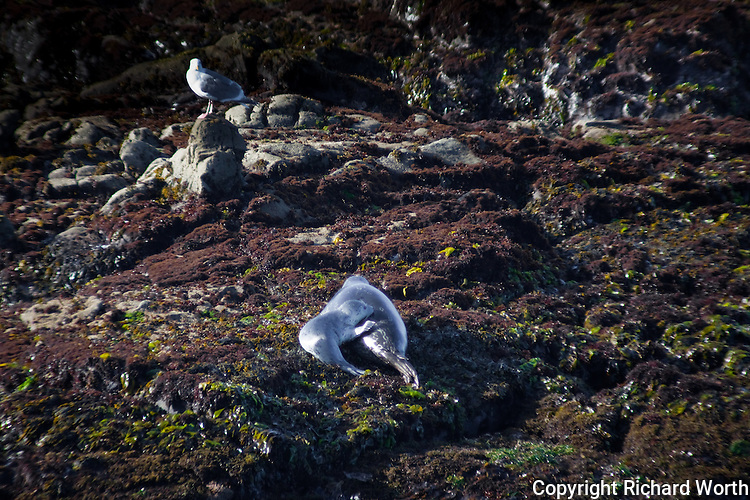A harbor seal pup is keeping close to its mother while a western gull looks on.