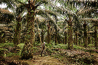 This palm oil plantation, founded under the Dutch in 1905, employs thousands of Indonesians. Sumatra, Indonesia