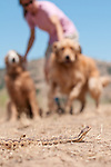 A woman restraining her dogs (golden retrievers) to keep them away from a  (non-poisonous) gopher snake (Pituophis catenifer), California