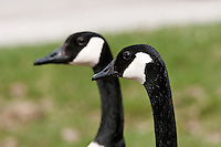 Pair of Canada Geese