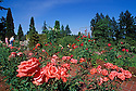 Washington Park Rose Garden; Portland, Oregon.