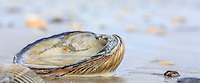 Close-up of a clamshell on the beach at Hatteras Island, NC.