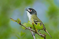 590500014 a highly endangered banded black-capped vireo vireo atricapilla sings while perched on a tree branch at balcones canyonlands national wildlife refuge in travis county texas