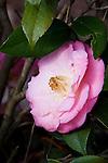 Camellia, Camellia japonica 'DR TINSLEY', at Mercer Arboretum and Botanical Gardens in Spring, Texas.