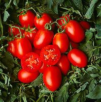 Agriculture - Closeup of mature, ready for harvest, processing tomatoes in the field / Fresno County, California, USA.