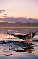 pu0678-D. Humpback Whale (Megaptera novaeangliae) tail flukes at sunset. Alaska, USA, Pacific Ocean..Photo Copyright © Brandon Cole. All rights reserved worldwide.  www.brandoncole.com..This photo is NOT free. It is NOT in the public domain. This photo is a Copyrighted Work, registered with the US Copyright Office. .Rights to reproduction of photograph granted only upon payment in full of agreed upon licensing fee. Any use of this photo prior to such payment is an infringement of copyright and punishable by fines up to  $150,000 USD...Brandon Cole.MARINE PHOTOGRAPHY.http://www.brandoncole.com.email: brandoncole@msn.com.4917 N. Boeing Rd..Spokane Valley, WA  99206  USA.tel: 509-535-3489